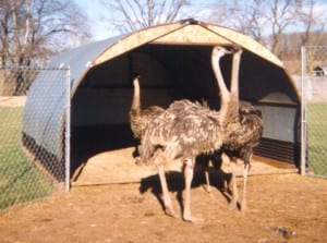 Ostrich Shelter