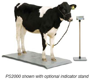 platform animal scale with a cow standing on it