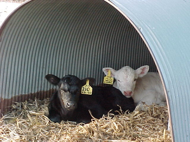 young calves in the calf hut shelter