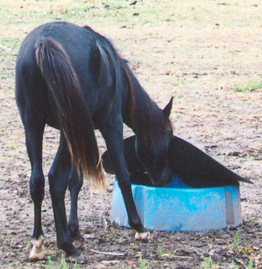 horse eating from a mineral feeder in the pasture