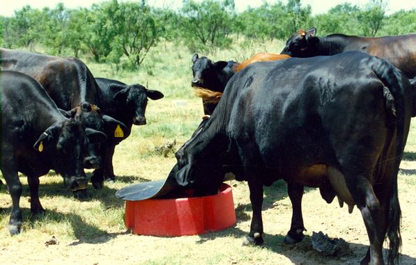 cows eating from a mineral feeder