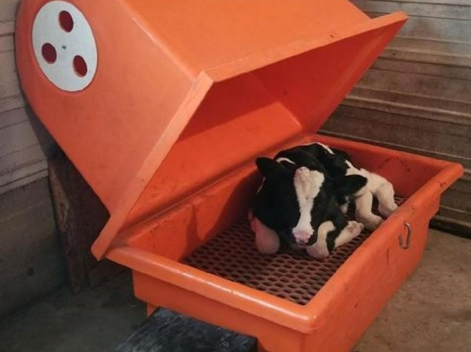 cow in a calf warmer