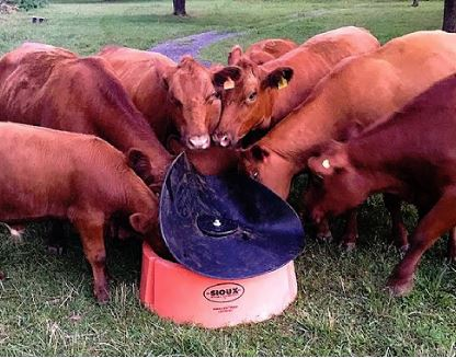 cattle using the ground mineral feeder in a pasture