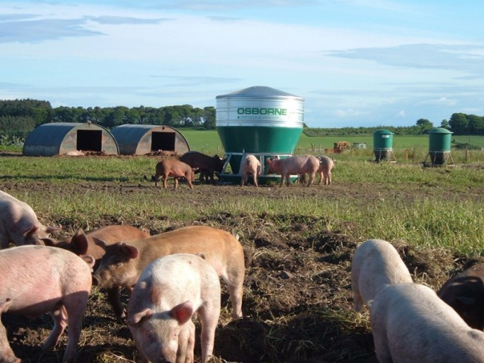outdoor hog feeder with pigs