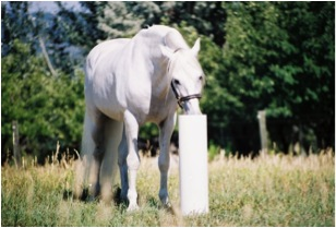 white horse drinking from post waterer