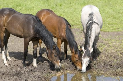 horses drinking from dirty water pond